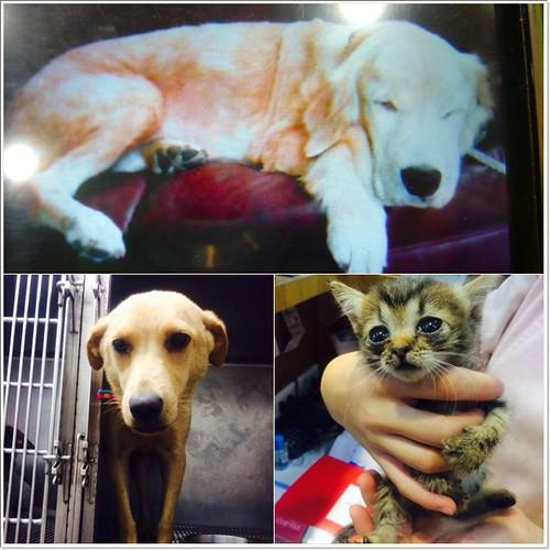 「認養」花蓮高橋動物醫院有黃金獵犬、米克斯、幼貓等~誠徵會照顧他一輩子的新家~謝謝您!20140730