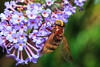 Hover fly (Family Syrphidae)