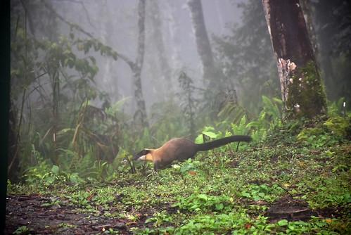 瓦拉米步道-瓦拉米山屋外的黃喉貂