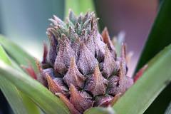 Meine Ananaspflanze