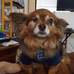#mydog #pappom #papillion #pomeranian #toocute