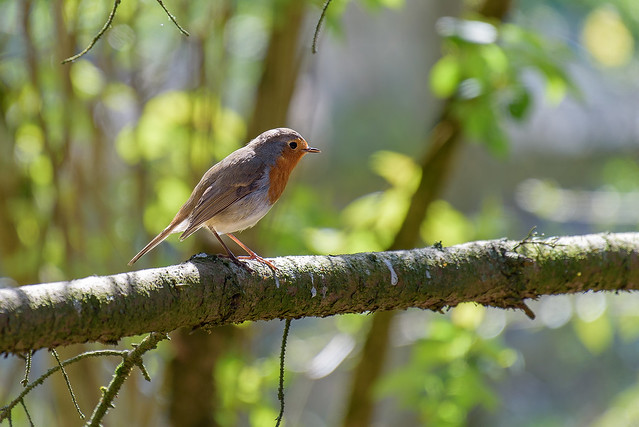rouge gorge - robin