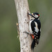 Great Spotted Woodpecker by susie2778