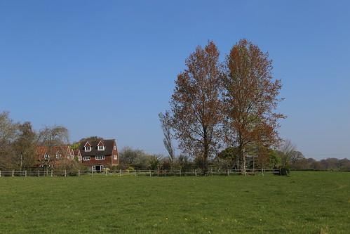 Poplars in Spring