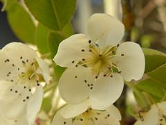 fleurs poirier - Photo of Rocourt