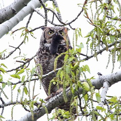 Great horned owl with prey by jlcummins - Washington State