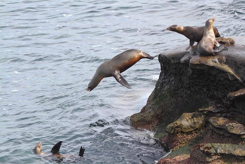 IMG_9934 California Sea Lion at La Jolla Cove