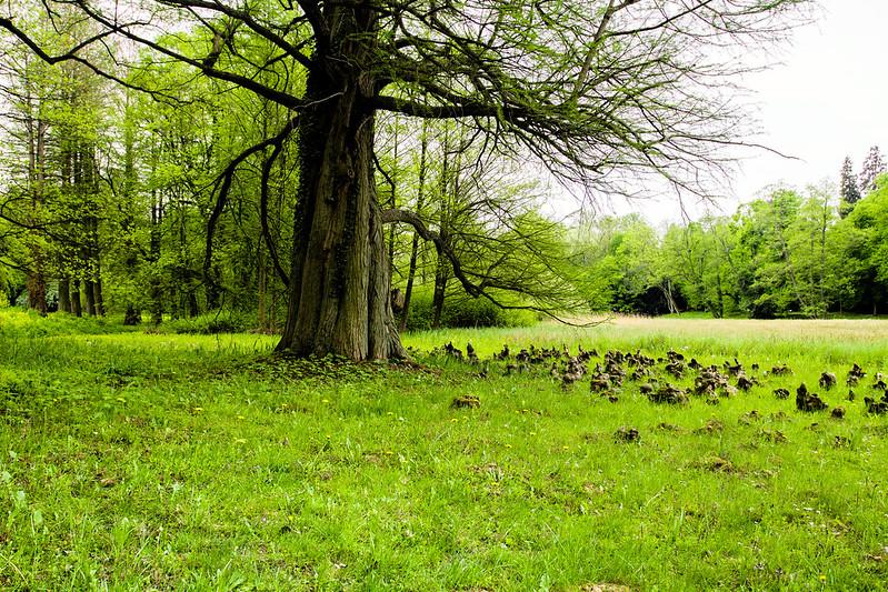 Pneumatofory w Arboretum w Kórniku