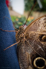 Owl Butterfly on my leg