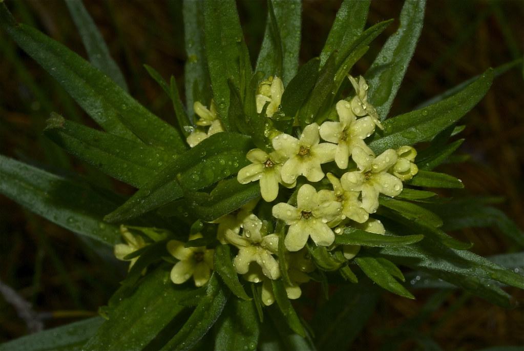 Western Gromwell, Lemonweed