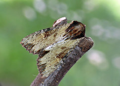 2326 Clouded-bordered Brindle - Apamea crenata