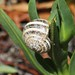 White Italian Snail - Photo (c) Jay Keller, all rights reserved