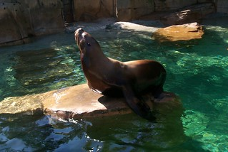 A sea lion at the Vancouver Aquarium