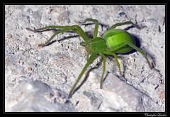 Micrommata virescens femelle