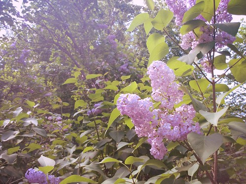 Lilacs at the Emily Dickinson Homestead