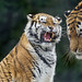 Small photo of Tiger argument