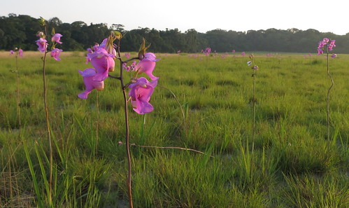 orchid sentinels of the savanna