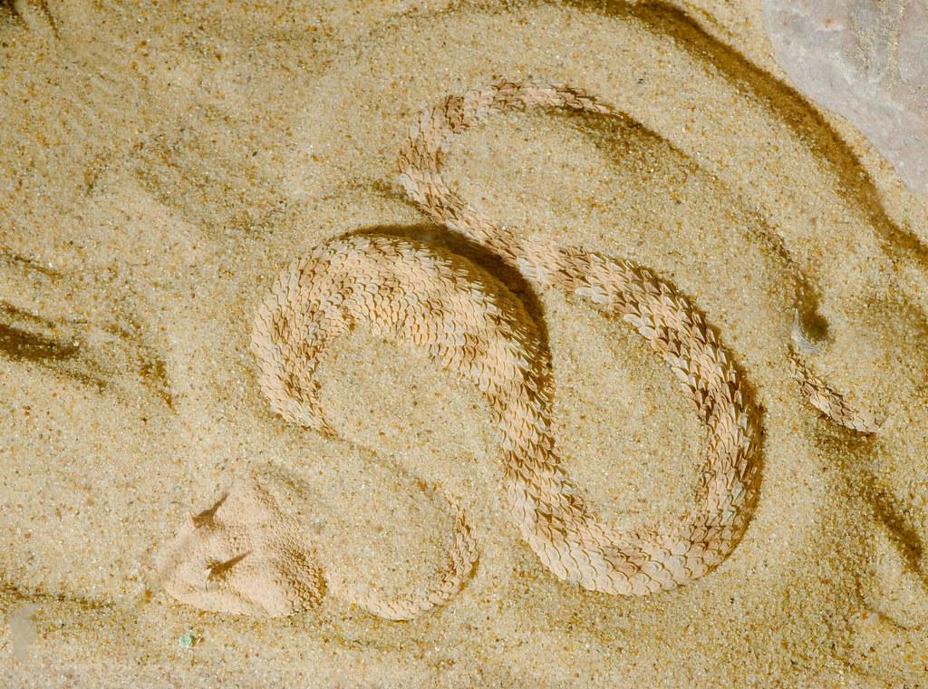Saharan Horned Viper (Cerastes cerastes)_2