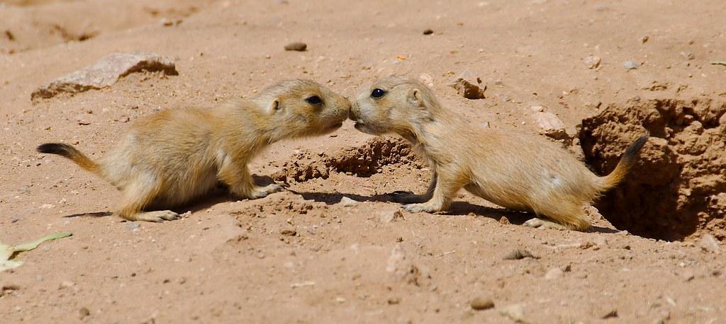 Prairie Dogs_3