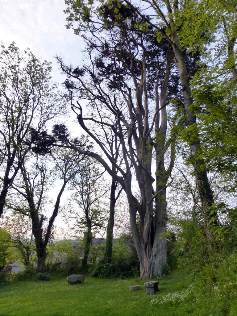 St Roch Tree