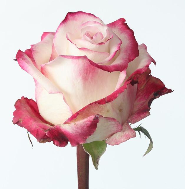 Pink/white rose | Flickr - Photo Sharing!