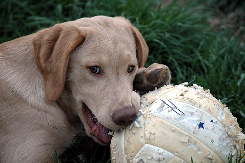 Daisy loves her soccer balls and finds them quite chewy. | by kennethkonica
