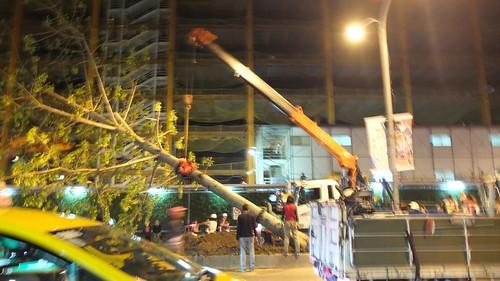 居民質疑行道樹移植作業程序