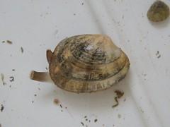 Venerupis decussata