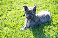 miniature schnauzer(0.0), scottish terrier(0.0), dog breed(1.0), animal(1.0), dog(1.0), grass(1.0), pumi(1.0), pet(1.0), mammal(1.0), schnauzer(1.0), cairn terrier(1.0), west highland white terrier(1.0), lawn(1.0), terrier(1.0),