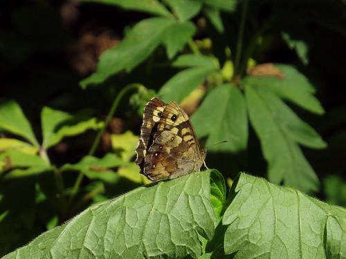 Краеглазка Эгерия — дневная бабочка из семейства Бархатницы семейства Нимфалиды. Википедия  Photo by Kari Pihlaviita on Flickr Автор фото: Kari Pihlaviita