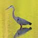 CL Great Blue Heron 51914 (4) by maerlyn8
