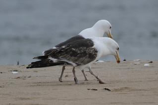 Banded Great Black-backed Gull