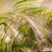 Foxtail Barley In Alberta
