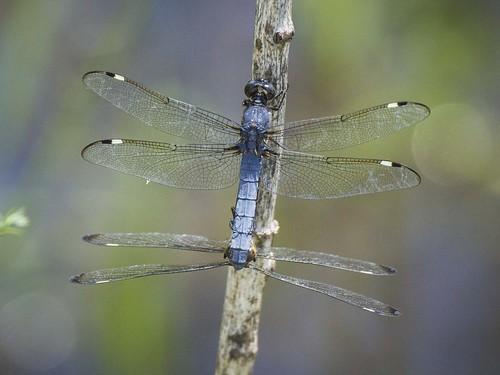 ohio dragonfly fayetteville spangledskimmer matingwheel indiancreekwla