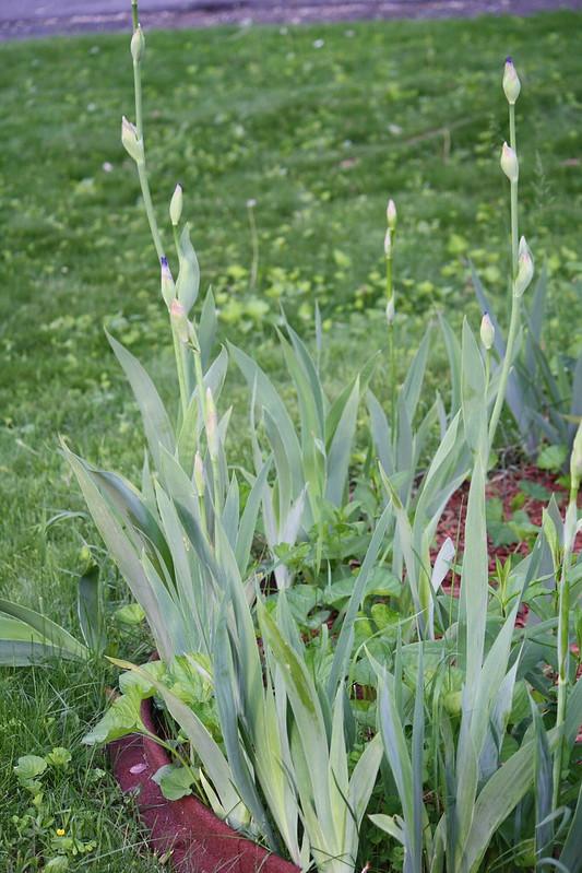 iris buds (1)