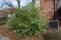 Exochorda racemosa (pearlbush)