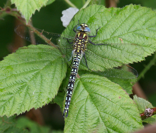 Hairy Dragonfly Brachytron pratense Tophill Low NR, East Yorkshire May 2014