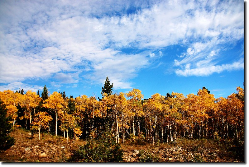 Aspen leaves turn to golden 3