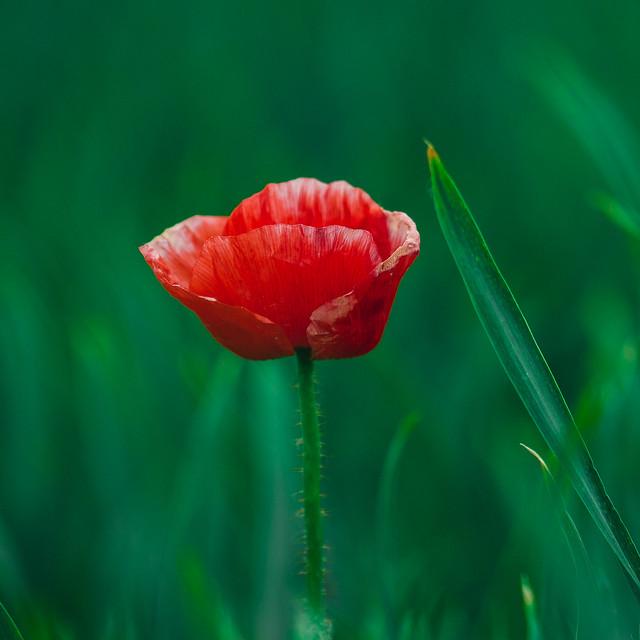 [068] Poppy