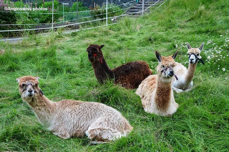 Llamas in Welschenrohr