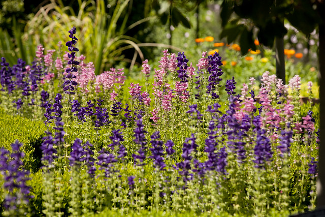 purple and pink flowers in the perennial garden flickr