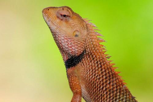 Chaibasa - Chameleon