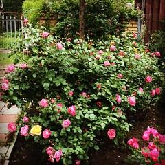 Розарий. #rose #розы #розовый #pink #green #июнь