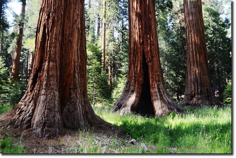 Giant sequoias along Round Meadow 1