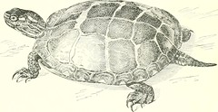 "Image from page 12 of ""The turtles, snakes, frogs and other reptiles and amphibians of New England and the north"" (1896)"