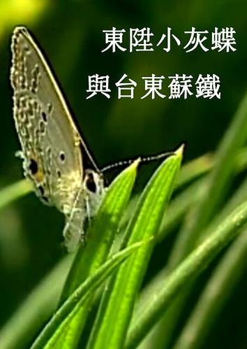 你知道有一種蝴蝶很挑食,只吃蘇鐵的嫩葉嗎?