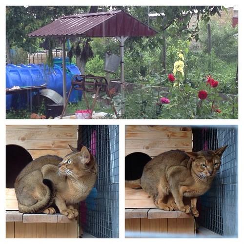 Ура, опять дождь, только кот недоволен! #старыйкрым  #abyssinian