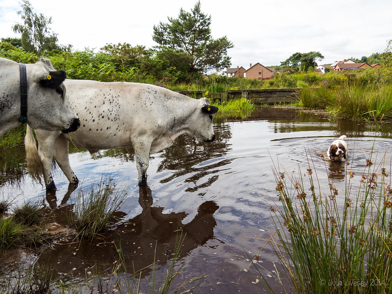 The cows weren't too happy to find Max in their pond