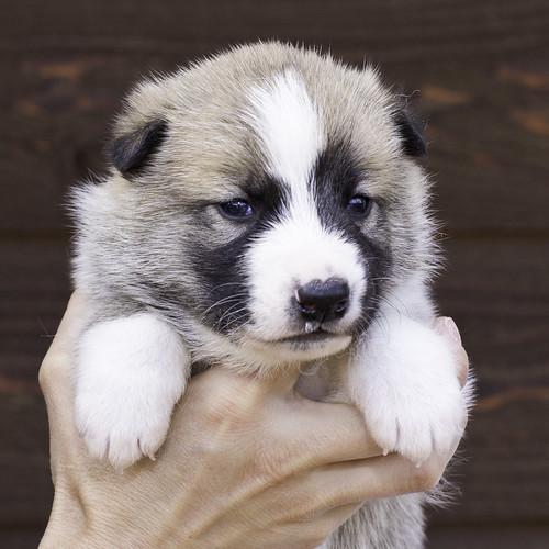 Anya-Litter1-20Days-Puppy2(Male)a