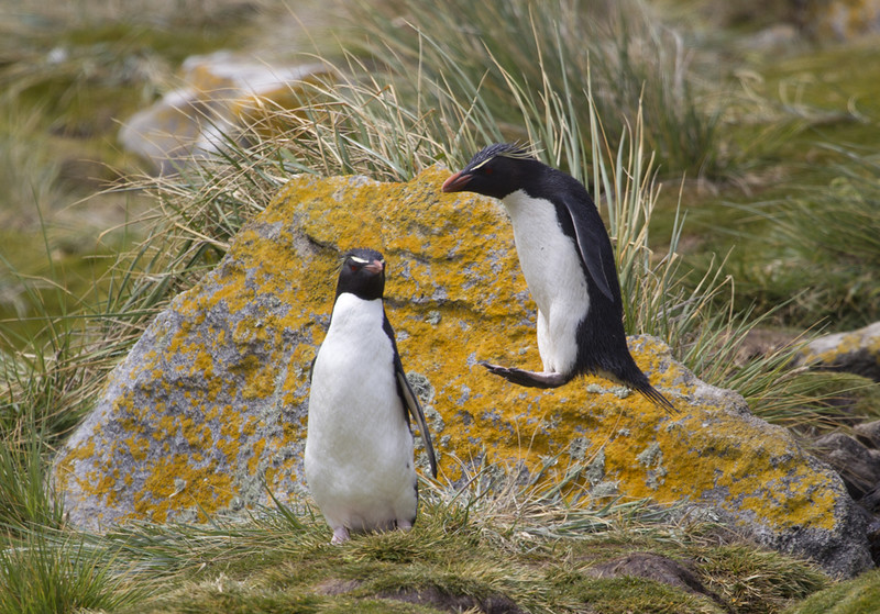 Rockhopper Penguins.